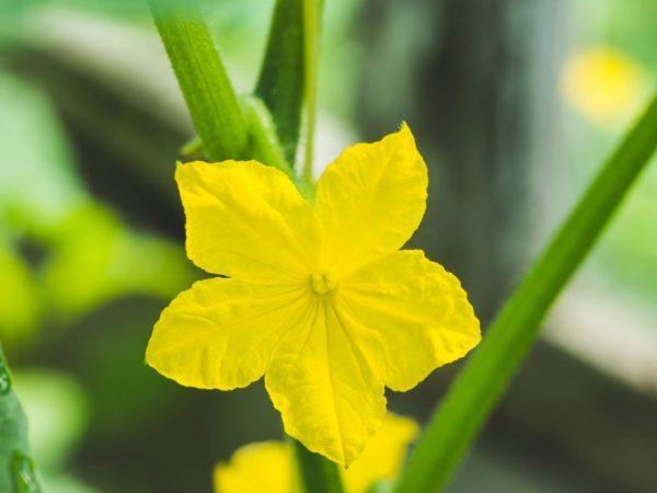 Пустоцветы огурцов в теплице: что делать если не цветут, почему