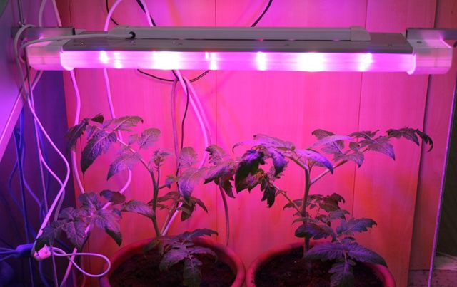 Подкормка рассады томатов, когда и как правильно делать, в том числе после всходов