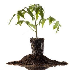 Парник для рассады: как высаживать в теплицу своими руками, фото как правильно посадить, раннюю выносить
