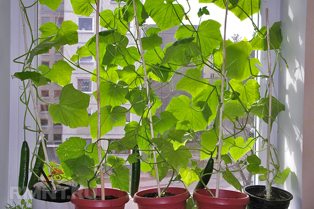 Огород на балконе: выращивание овощей своими руками для начинающих, как посадить и вырастить, дачу сделать