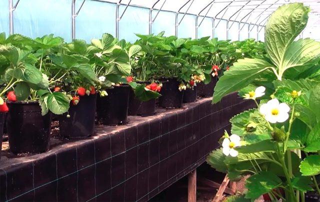 Выращивание клубники в теплице: самоопыляемые сорта, по видео, поликарбонат для парника