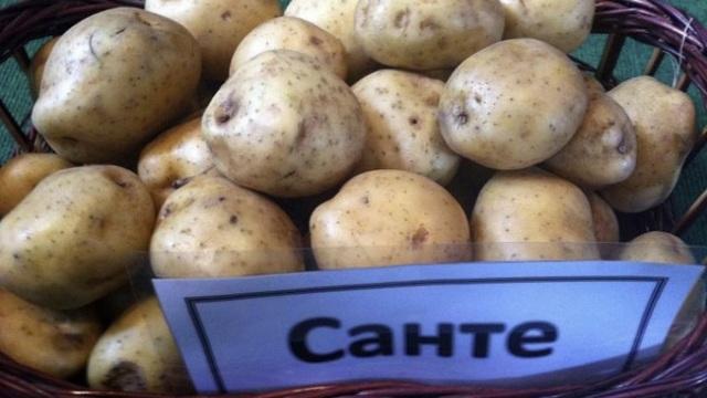 Сорт картофеля Санте: описание, фото, характеристика и отзывы, а также особенности выращивания