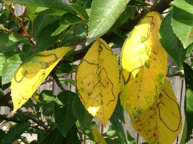 Уход за вишней после сбора урожая — чем подкормить и что еще делать в июле и августе