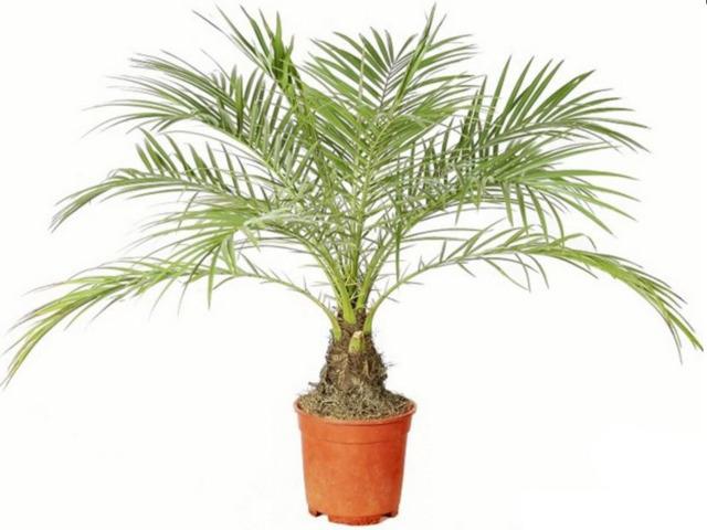 Как вырастить пальму финика из косточки в домашних условиях, инструкция по выращиванию + фото