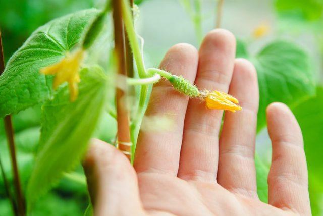В теплице не растут огурцы: почему плохо и растут плоды, что делать, плохой урожай, медленно плодоносят