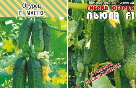Огурцы для Сибири в теплице лучшие сорта: какие самые урожайные, хорошие семена для Подмосковья, пучковые Герман