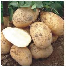 Выращивание картофеля: описание популярных методов без прополки и окучивания, особенности в Сибири, Беларуси, Подмосковье, других регионах