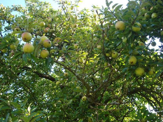Сорта яблонь для Сибири: описание и характеристика + фото