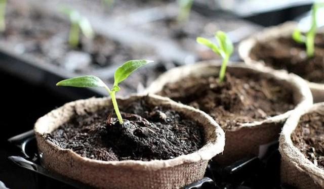 Перец в теплице: парник своими руками, растет в грунте, фото и совместимость, подвязка расстояние, почва