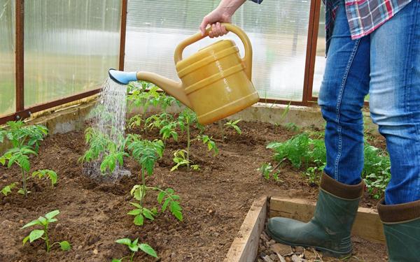 У помидор в теплице опадают цветы: почему томаты, отваливаются и опадают, осыпаются