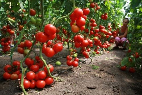 Когда сажать перцы и помидоры в теплицу: можно ли в одном парнике, томаты посадить и с баклажанами выращивать