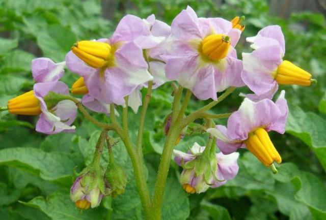 Сорт картофеля Любава: описание, характеристика и отзывы, а также особенности выращивания