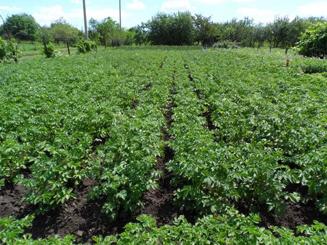 Сорт картофеля Розара, описание, характеристика и отзывы, а также особенности выращивания