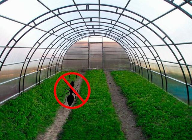 Как избавиться от муравьев в теплице: как бороться в парнике, вывести народным средством садовых и уничтожить
