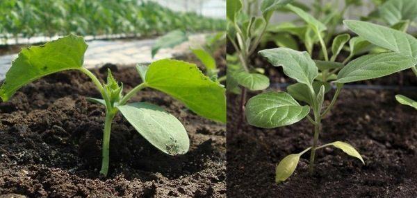 Огурцы и перец в одной теплице: как сажать и что садить вместе, в парнике выращивать, совместимость баклажанов