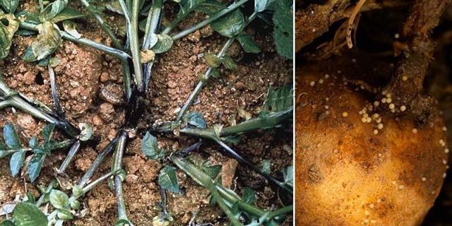 Сорт картофеля Скарб, описание, характеристика и отзывы, а также особенности выращивания