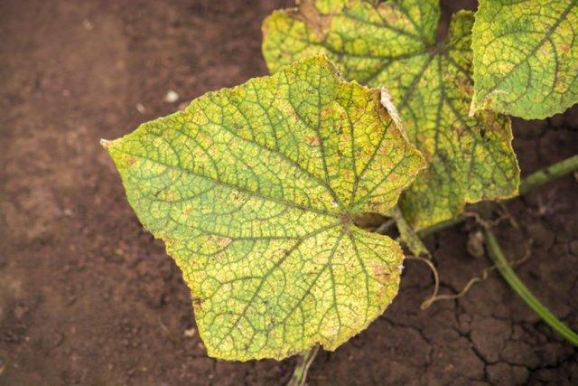 Сохнут и желтеют огурцы в теплице: почему листья засыхают, что делать если высыхают маленькие огурчики