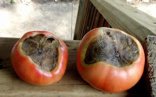 Вершинная гниль томатов в теплице: почему гниют помидоры, серая и сухая на кусту, как бороться и что делать