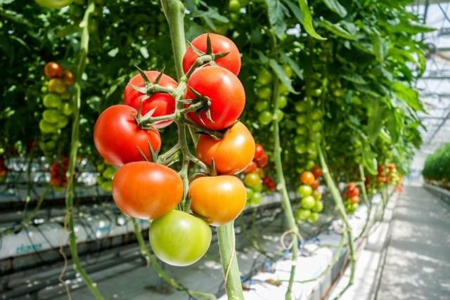 правильный уход за томатами в теплице