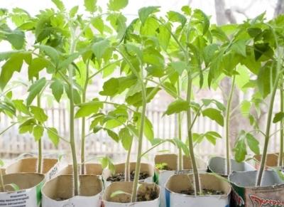 Когда высаживать помидоры в теплицу: как высадить и обрывать, собирать во время плодоношения, рассаду снимать