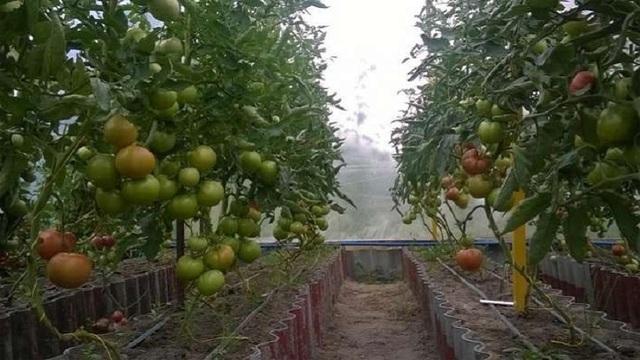 Высокорослые высокоурожайные томаты для теплиц: помидор урожайные сорта, лучшая посадка и высокое выращивание