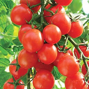 Помидоры для Урала в теплице сорта: томатов фото, уральские из поликарбоната, какое лучше выращивание и видео