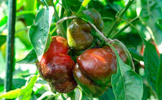Перец гниет в теплице: болезни перцев, фото тли, лечение, почему краснеют и желтеют листья, ест, вянут