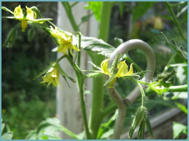 Не завязываются помидоры в теплице: почему нет или мало завязи, что делать с томатами, опадает завязь, цветут плохо