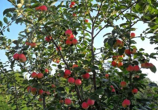 Сорта яблонь для Сибири: описание и характеристика   фото