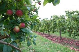 Карликовая яблоня: описание и характеристика сортов по регионам, особенности посадки и ухода