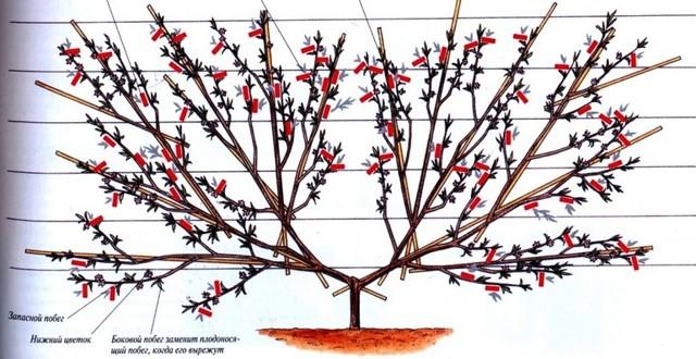 Обрезка абрикоса весной: как правильно это сделать, схемы, фото и видео, в том числе для начинающих