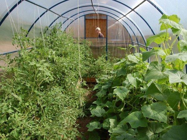 Можно ли сажать в одной теплице огурцы и помидоры: как выращивать и садить из поликарбоната, температура